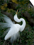 Great Egret Exhibiting Sky Pointing on Nest, St. Augustine, Florida, USA Posters by Jim Zuckerman