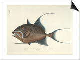 Queen Triggerfish Prints by Mark Catesby