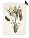Bird of Paradise Prints by Pierre-Joseph Redouté
