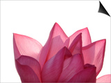 Lotus Flower in Full Bloom Art by Michele Molinari