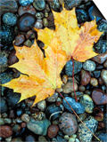 Maple Leaves on Pebble Beach, Lake Superior, Pictured Rocks National Lakeshore, Michigan, USA Posters by Claudia Adams
