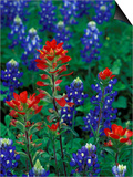Texas Bluebonnet and Indian Paintbrush, Texas, USA Prints by Claudia Adams
