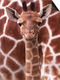 A Three Week Old Baby Giraffe at Whipsnade Wild Animal Park Pictured in Front of Its Mother Print
