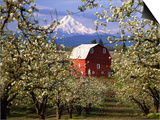 Red Barn in Pear Orchard, Mt. Hood, Hood River County, Oregon, USA Posters by Julie Eggers