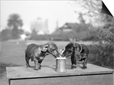 Two Dachshund Puppies Lapping Beer from Stein Prints