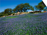 Bluebonnets, Hill Country, Texas, USA Plakater af Dee Ann Pederson