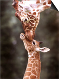 A Three Week Old Baby Giraffe with Its Mother at Whipsnade Zoo Prints