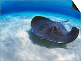 Stingray City, Grand Cayman, Cayman Islands, Caribbean Kunstdrucke von Greg Johnston