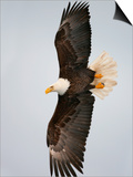 Bald Eagle in Flight with Wingspread, Homer, Alaska, USA Prints by Arthur Morris
