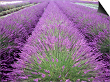 Lavender Field, Sequim, Washington, USA Prints by Janell Davidson