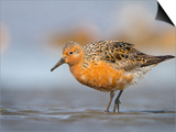 A Red Knot (Calidris Canutus) in Breeding Plumage, Washington, USA Posters by Gary Luhm