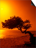 Lone Divi Divi Tree at Sunset, Aruba Prints by Bill Bachmann