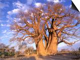 Pete Oxford - Baobab, Okavango Delta, Botswana Plakát