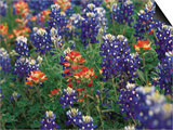 Paintbrush and Bluebonnets, Texas, USA Poster af Dee Ann Pederson