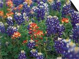 Paintbrush and Bluebonnets, Texas, USA Kunstdruck von Dee Ann Pederson