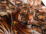 Bengal Tiger in Bandhavgarh National Park, India Plakater af Dee Ann Pederson