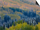 Snow on Aspen Trees in Fall, Red Mountain Pass, Ouray, Rocky Mountains, Colorado, USA Print by Rolf Nussbaumer