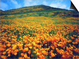 California Poppies, Lake Elsinore, California, USA Prints by Christopher Talbot Frank