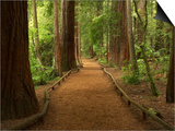 Redwood Forest, Rotorua, New Zealand Prints by David Wall