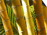 Bamboo Stems, Queensland Australia Poster by David Wall