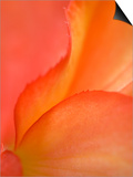 Begonia Petal Close-up Kunst af Nancy Rotenberg