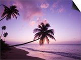 Palm Trees at Sunset, Coconut Grove Beach at Cade's Bay, Nevis, Caribbean Posters by Greg Johnston