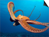 Day Octopus, near Kona, Big Island, Hawaii, USA Prints by Stuart Westmoreland