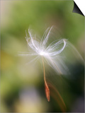 Close-up of Dandelion Seed Blowing in the Wind, San Diego, California, USA Prints by Christopher Talbot Frank