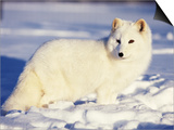 Arctic Fox in Winter Coat, Alaska, USA Poster by Jim Zuckerman