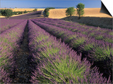 Lavender Field, Provence, France Prints by Gavriel Jecan