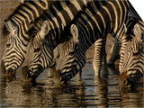 Burchell's Zebra, Mombo Area of Chief's Island, Okavango Delta, Botswana Prints by Pete Oxford