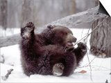 Juvenile Grizzly Plays with Tree Branch in Winter, Alaska, USA Prints by Jim Zuckerman