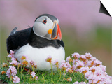 Atlantic Puffin and Sea Pink Flowers, Saltee Island, Ireland Posters by Art Morris