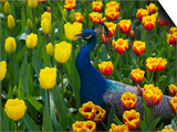 Peacock with Tulips, Keukenhof Gardens, Amsterdam, Netherlands Prints by Keren Su