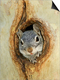 Grey Squirrel in Sycamore Tree Hole, Madera Canyon, Arizona, USA Art by Rolf Nussbaumer