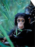 Infant Chimpanzee, Gombe National Park, Tanzania Prints by Kristin Mosher