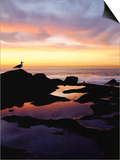Seagull at Sunset Cliffs Tidepools on the Pacific Ocean, San Diego, California, USA Prints by Christopher Talbot Frank