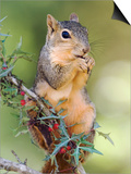 Eastern Fox Squirrel Eating Berries, Uvalde County, Hill Country, Texas, USA Posters by Rolf Nussbaumer