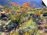 Blooming Ocotillo Cactus and Brittlebush Desert Wildflowers, Anza-Borrego Desert State Park Posters by Christopher Talbot Frank