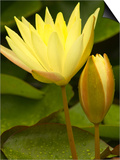 Two Yellow Hardy Water Lilies, Union Mills, Westminster, Maryland, USA Print by Corey Hilz