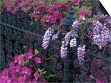 Azaleas and Wisteria Bloom at Bonaventure Cemetery, Savannah, Georgia, USA Posters by Joanne Wells