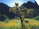 Wildflowers and Cacti in Sunlight, Organ Pipe Cactus National Monument, Arizona, USA Print by Christopher Talbot Frank