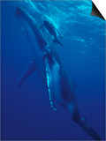 Humpback Whale and Calf, Tonga, South Pacific Prints by Amos Nachoum