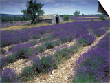 Lavender Field, Provence, France Print by Gavriel Jecan