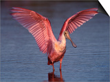 Roseate Spoonbill with Wings Spread Affiches par Charles Sleicher