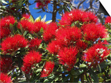 Pohutukawa Flowers, New Zealand Prints by David Wall