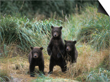Brown Bear and Three Spring Cubs in Katmai National Park, Alaskan Peninsula, USA Prints by Steve Kazlowski