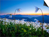 Avalanche Lilies (Erythronium Montanum) at Sunset, Olympic Nat'l Park, Washington, USA Posters by Gary Luhm