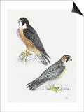 Falcons III Prints by Friedhelm Weick