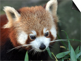 Red Panda, Taronga Zoo, Sydney, Australia Art by David Wall